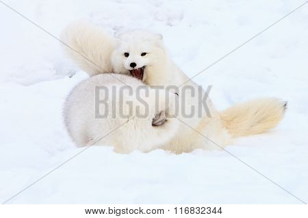 Two arctic foxes playing together