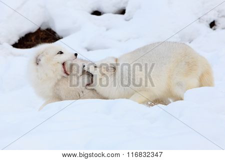 Two arctic snow foxes playing together