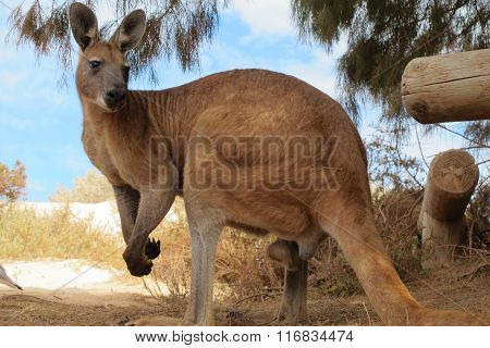 lazy kangaroo sitting in the outback, australia