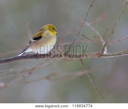 American Goldfinch In Winter