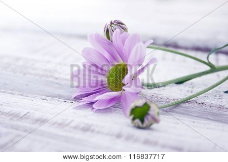 Pink Chrysanthemum Flower On Rustic White Wooden Table. Valentine's Day And Mother's Day Background.