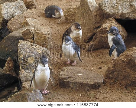 Little Blue Penguins, Eudyptula minor in captivity