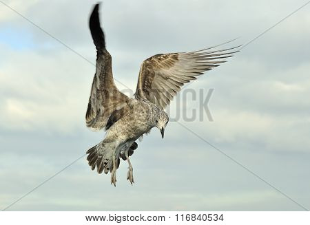 Flying Juvenile Kelp Gull (larus Dominicanus) In Flight. Also Known As The Dominican Gull And Black