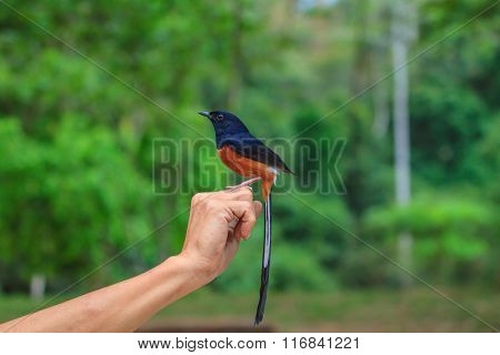 Male White-rumped Shama Standing On Hand