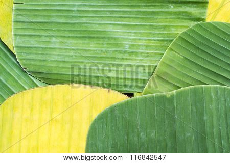 Banana Leaves For Wrapping Food As Dishware