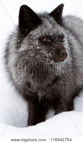Vertical portrait of a silver fox
