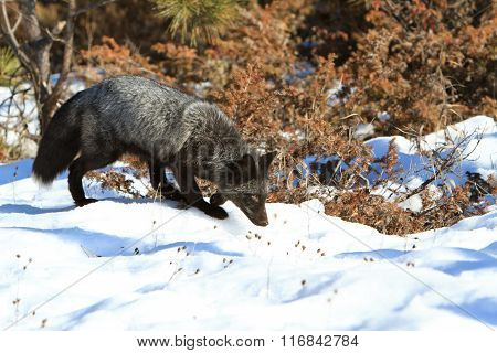 A silver fox in forest hunting for food
