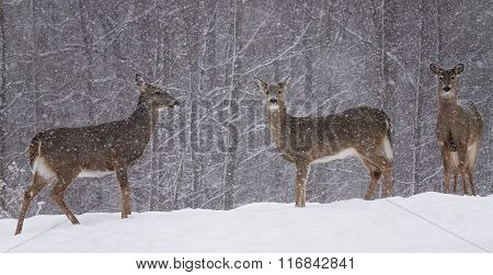 Whitetail deer in snow