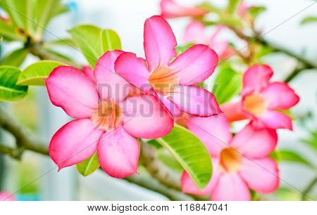 Impala Lily flowers, Rose flower from tropical climate
