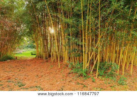 Bamboo Grove In Evening