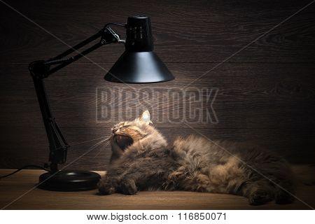 The cat yawns