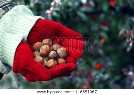 Hands in red mittens holding hazelnuts on natural blurred background
