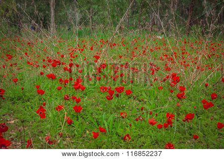 Field Of Red Anemones