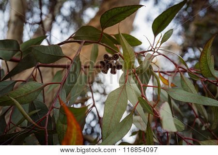 Close up on eucalyptus branch with flower buds