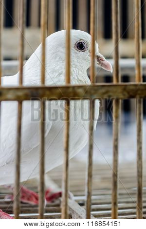White Dove In The Cage