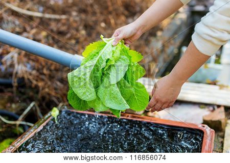 Washing lettuce at outdoor