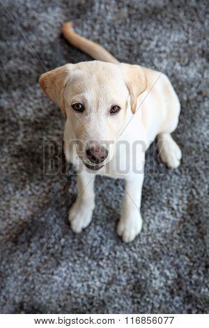 Cute Labrador dog on gray carpet, closeup