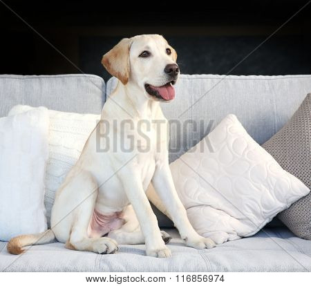 Cute Labrador dog sitting on couch at home, closeup