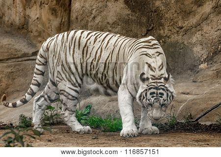 White Tiger ( Panthera Tigris)