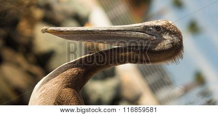 Brown Wild Pelican Bird San Diego Marina Animal Feathers