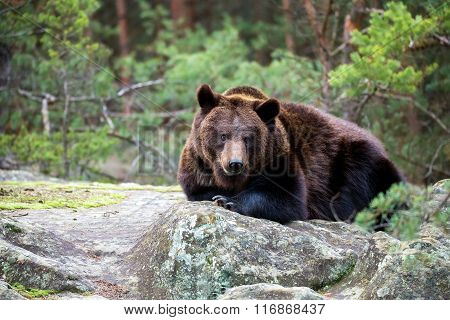Brown Bear (ursus Arctos) In Winter Forest