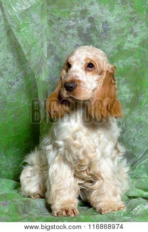 Beige English Cocker Spaniel Puppy