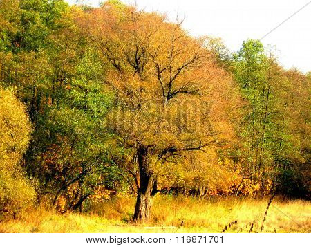 Tree in yellow leaves is on the edge of the field.