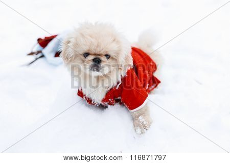 Cute Puppy Dogs Pekingese In Warm Clothes Standing In The Snow