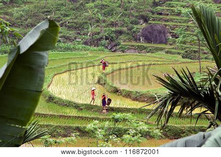 People are working on the terraced rice field.