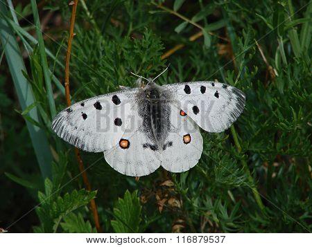 Beautiful white butterfly - photo 3