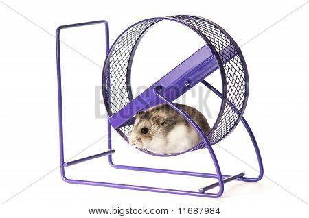 Hamster In A Hamster Wheel