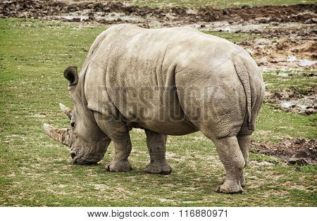 White Rhinoceros Rear View, Animal Scene
