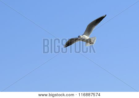 Gull In The Sky