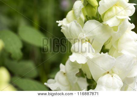 White snapdragon
