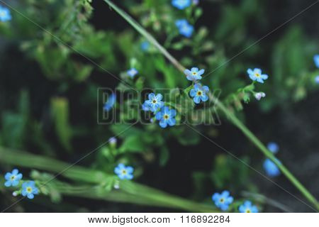 Forget-me-nots In Grass