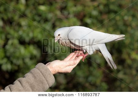 White Dove (columba Livia Domestica)