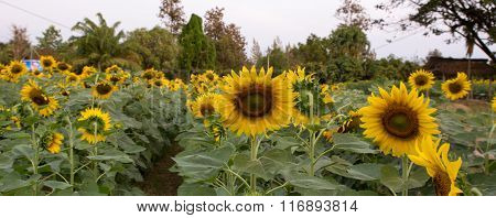 sunflower, Beautiful Sunflowers blooming in the field