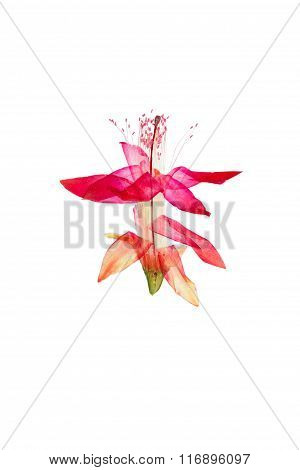 Pressed And Dried Bright Schlumbergera Or Christmas Cactus