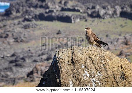 Falcon On The Coast Of Easter Island, Chile