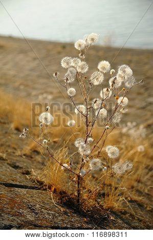 Dandelion At Fall