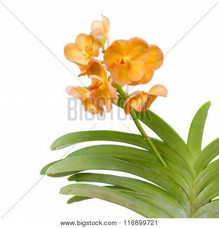 Hybrids Vanda  Orchid Isolated On White Background