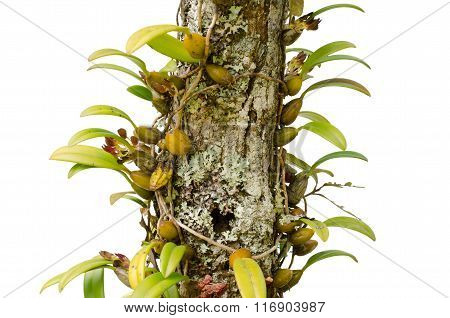 Bulbophyllum Spathulatum Growing On Tree Isolated On White Background