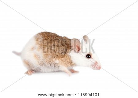 Natal multimammate mouse, mastomys natalensis, on white