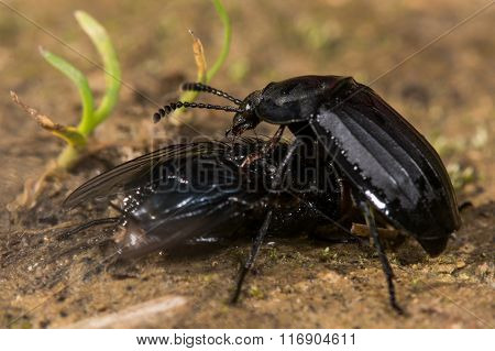 Silpha tristis beetle eating fly