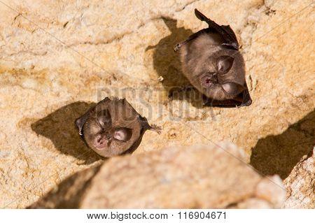 Greater horseshoe bats (Rhinolophus ferrumequinum)