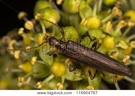 Oedemera femoralis beetle on ivy flowers