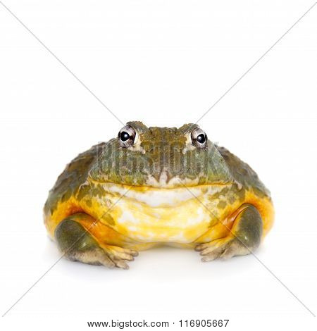 The African bullfrog on white