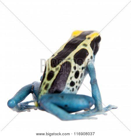 Patricia Dyeing Poison Dart Frog, Dendrobates tinctorius, on white