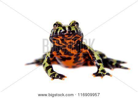 Oriental Fire-bellied Toad, Bombina orientalis, on white