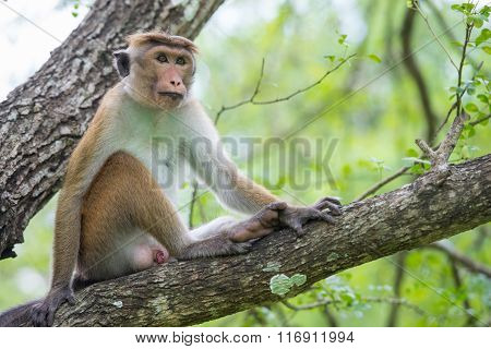 Toque Macaque Monkey Sitting On A Tree  In Natural Habitat In Sri Lanka